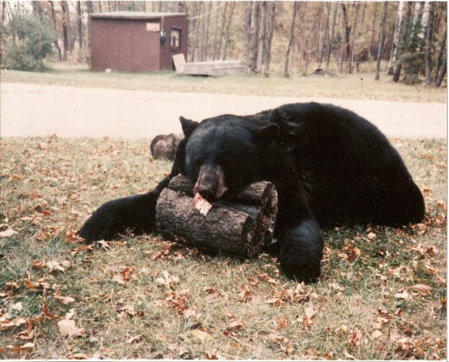 Trophy Black Bear weighed in at 650 lb dressed weight.  Add at least another 50 - 70 lbs for live weight!