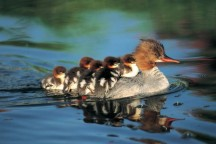 Many species of Ducklings are hatched here on Lake of the Woods