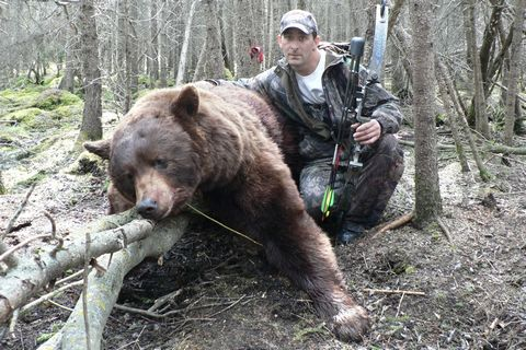 Black Bear Hunting Ontario Canada: Brown or Cinnamon phase of a Black Bear