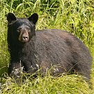 Black Bear Hunts in NW Ontario: with all color phases