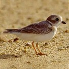 nearly extinct Piping Plover nests across the bay from Harris Hill  Resort: one of 302 species of birds in just our area alone